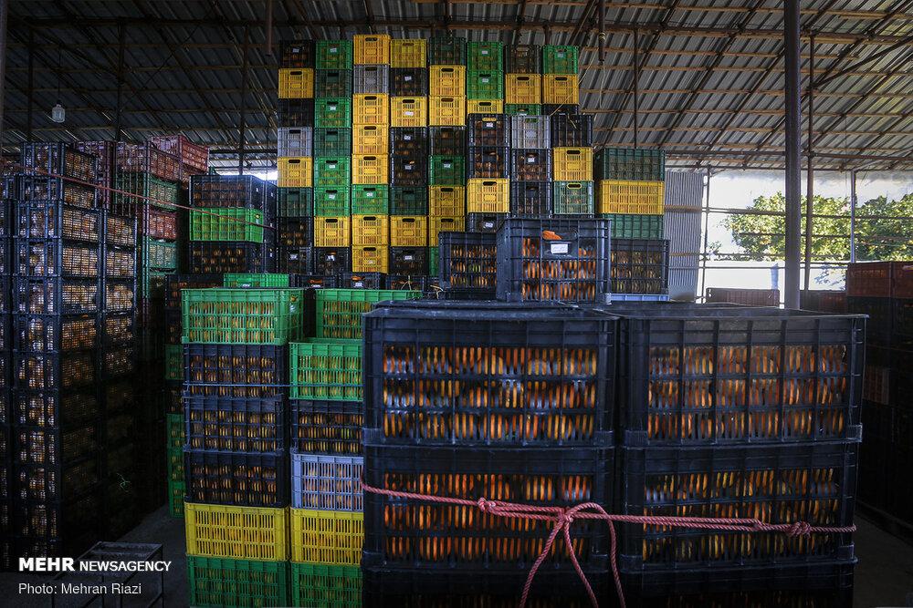سبز میخرند و زرد میفروشند/ شبیخون دلالان به بازار مرکبات