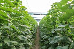 تسهیلات لازم برای توسعه کشت گلخانهای در استان بوشهر تخصیص یابد