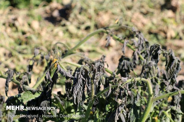 ۲۱ درصد تسهیلات حوادث کشاورزی در اردبیل جذب نشده است