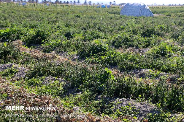 پایداری سرما در کهگیلویه وبویراحمد/سرمازدگی در کمین مزارع کشاورزی