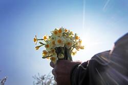 Daffodil harvest in Golestan province