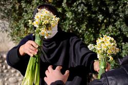 صوبہ گلستان میں نرگس پھولوں کا فارم