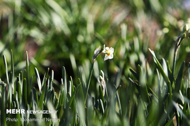 مزرعه گل نرگس در گلستان