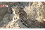 VIDEO: Persian leopard spotted in Dena wildlife sanctuary