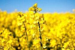 باید ظرفیت حوزه تحقیقات دانههای روغنی استان مرکزی مشخص شود