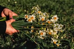 پیشبینی برداشت ۴.۲ میلیون شاخه گل نرگس از نرگسزارهای پلدختر