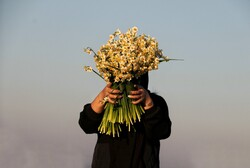 Narcissus flower harvest in Juybar