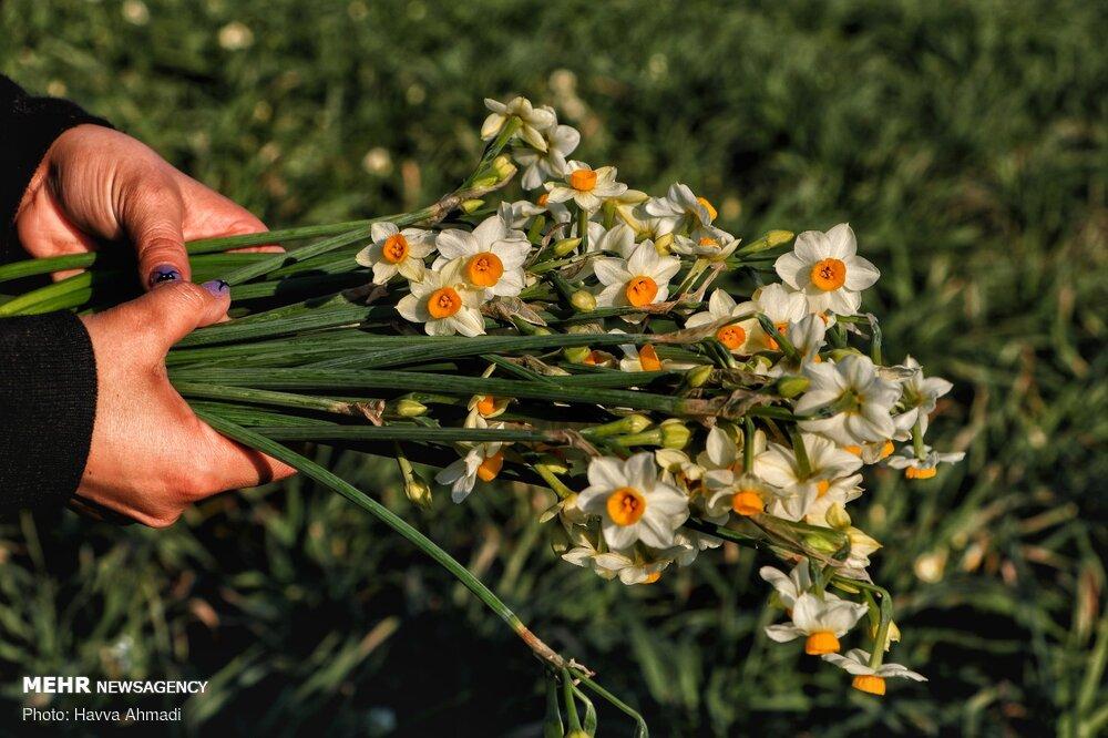 Narcissus flower harvest in Juybar گل نرگس