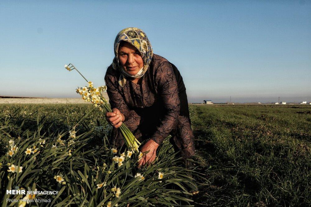 Narcissus flower harvest in Juybar