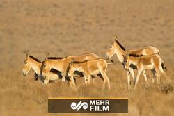 همزیستی گورخرها و جبیران پارک ملی کویر