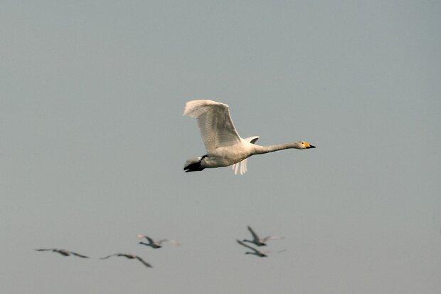 VIDEO: Iran's Sorkhroud Wetland hosting migratory birds