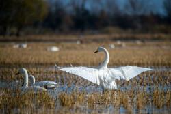 Migratory swans in Sorkhrud