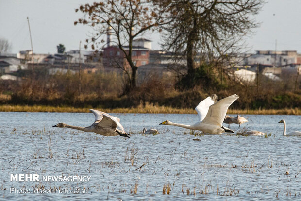 Significant increase in number of migratory swans in Sorkhrud