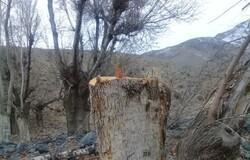 قطع درختان روستای خنب کاشان توسط عوامل ناشناس