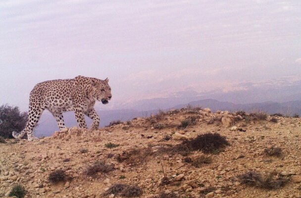 Persian leopard spotted in mountains of Qazvin