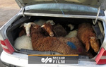 شیوه جدید قاچاق گوسفند!