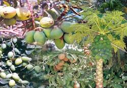 تولید ۵۰ درصد میوه های گرمسیری مورد نیاز کشور در سواحل مکران