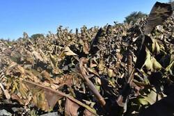۲۰۰۰ میلیارد تومان خسارت به بخش کشاورزی آذربایجانغربی وارد شد