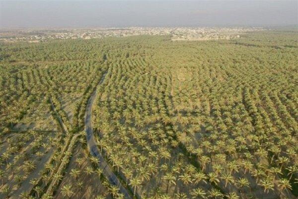 راندمان آبیاری در نخیلات استان بوشهر افزایش مییابد
