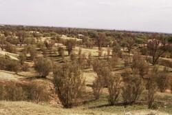 صدور  سند مالکیت برای جنگلهای دست کاشت تاغزارهای ورامین