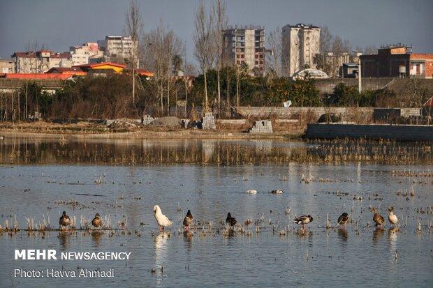 Feeding migrant swans in Sorkhrud