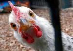 شیوه نامه جدید برای کاهش قیمت مرغ در استان فارس