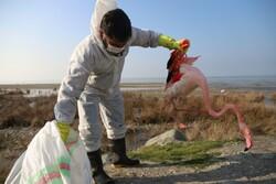۱۳ گونه پرندگان مهاجر در تالاب میانکاله تلف شدند