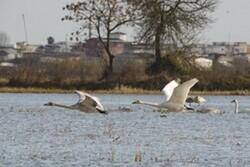 VIDEO: Hosts of migratory birds in Mazandaran wetlands