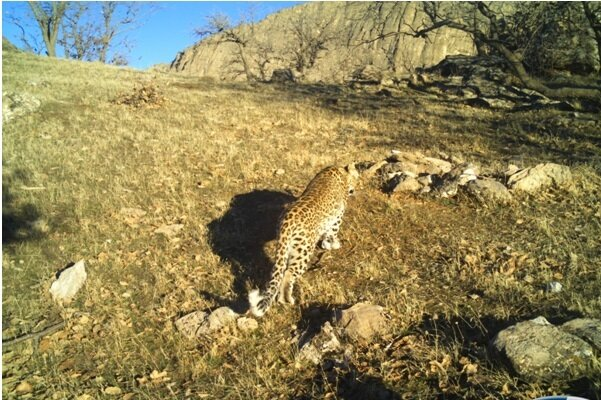 Hopes rise for Persian leopard survival in western Iran