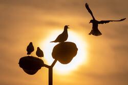 پرواز کاکایی ها برفراز چشمه کیله