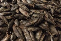 ضبط محموله ۱۵ تنی ماهی دریایی به دلیل نداشتن شرایط بهداشتی