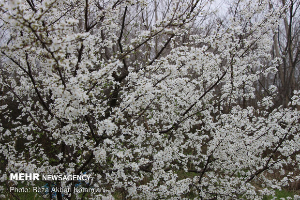 Early spring blossoms in N Iran