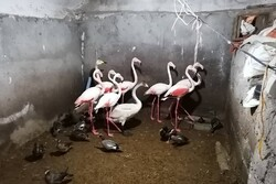 کشف ۳۰ قطعه پرنده حمایت شده در شهرستان شفت