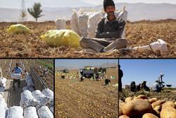 دومینوی افت نرخ محصولات کشاورزی ادامه دارد/ نوبت به سیبزمینی رسید