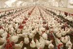 بازار مرغ هر روز نابسامانتر میشود/ مشکل، افزایش خرید احتیاطی مردم است یا کاهش تولید؟