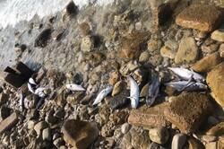 تلفشدن ماهیها در عسلویه و اظهارات متفاوت/ آلودگی نفتی یا دور ریز صیادان