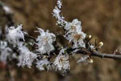 سرمازدگی ۱۴۵۰ هکتار از باغات کاشان طی ۲ هفته اخیر/کشاورزان به هشدارها توجه کنند