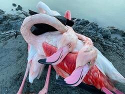 احتمال شیوع «وبای پرندگان» در میانکاله/ کلی گویی ها، تقصیر را گردن تالاب انداخته است