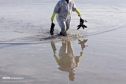 «بوتولیسم» عامل مرگ پرندگان مهاجر نیست/ کمکخواهی از مراجع بینالمللی