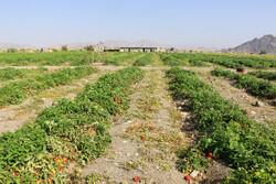 گوجه در مزرعه هزار و در بازار ۱۰ هزار تومان/ دستگاه قضایی ورود کند
