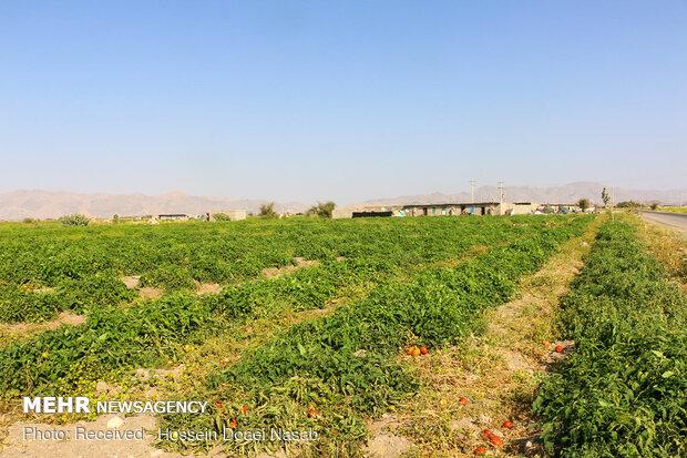 بازار کساد گوجه فرنگی در هشتبندی هرمزگان