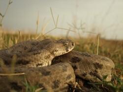 کشف یک گونه جدید مار افعی در خوزستان کذب است/ «گرزه مار» حدود ۲۰۰ سال پیش شناسایی و توصیف شده است