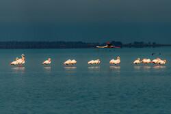 پرندگان میانکاله قربانی فقدان سیاستگذاری محیط زیست شدند