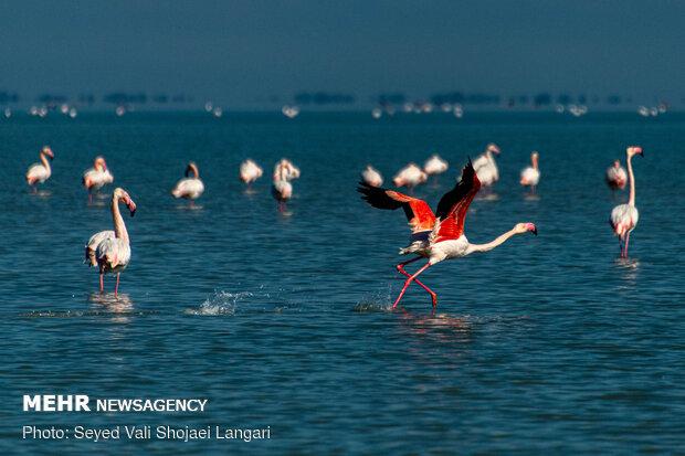 Migratory birds depart from Miankaleh sanctuary