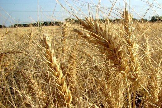 3708403 - مزارع گندم خوراک دام شد/ گندمی که برای کشاورزان نان نشد