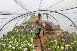 Bojnord greenhouses preparing for Nowruz