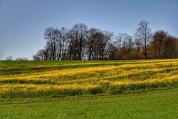 افزایش ۵۰درصدی قیمت خرید تضمینی دانههای روغنی در سال زراعی جاری