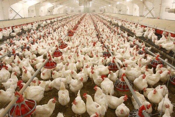 مرغ به اندازه کافی وجود دارد/ توزیع ۲ هزار تن مرغ مازاد در ۲ روز