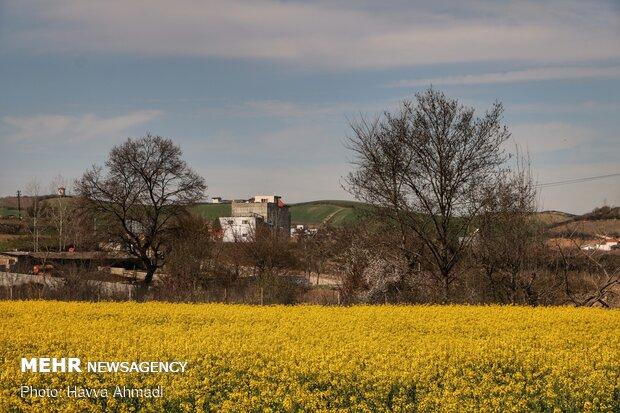 مزرعه کلزا در زرندین نکا