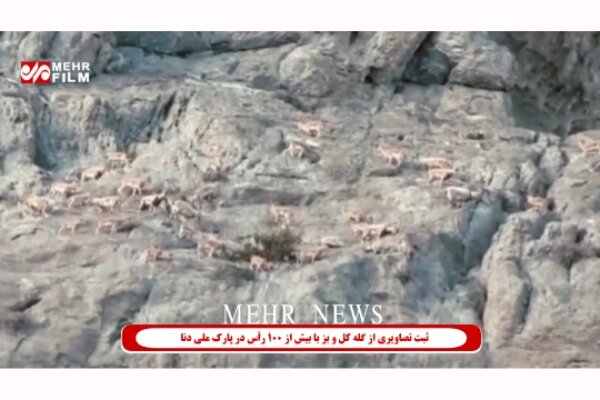 VIDEO: Wild goats spotted in Dena National Park